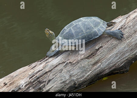 yellow-headed temple turtle basking on a tree above the water - Stock Photo