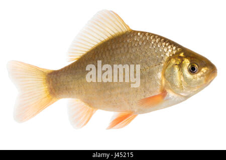 Adult crusian carp isolated on white - Stock Photo