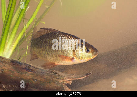 photo of a crucian carp swimming above dead wood on the bottom - Stock Photo