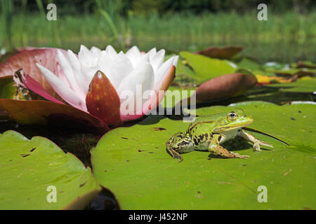 photo of an edible frog sitting on a leaf of european white waterlilly with a flower in the background - Stock Photo