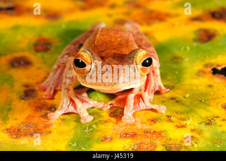 Photo of a harlequin tree frog on a dead banana leaf with green, yellow, brown and orange colours - Stock Photo