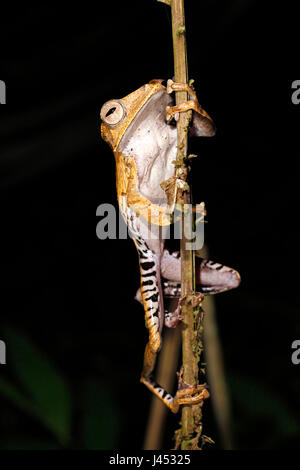 Foto van een boomkikker; Photo of a File-eared tree frog; - Stock Photo