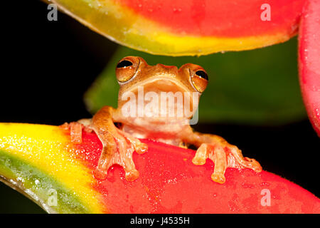 portait of a Harlequin tree frog looking between the flowers of a Crab Claw Flower - Stock Photo