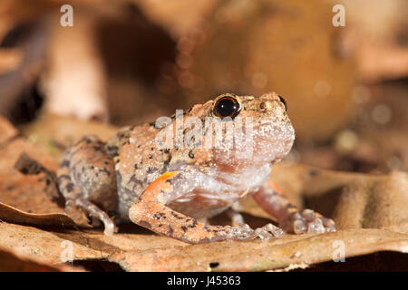Photo of a tree hole frog, they lay their eggs in tree holes, males call from tree holes so the females can locate - Stock Photo