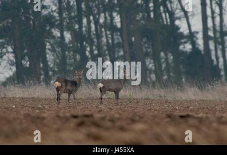 A pair of Roe Deer -Capreolus capreolus, Spring. Uk