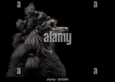 Portrait of Poodle on Black Background - Stock Photo