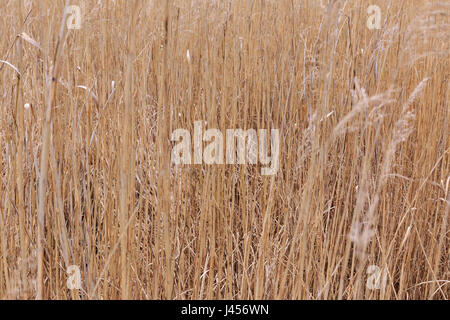 Field of dry tall grass in early spring. - Stock Photo