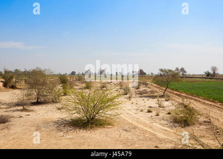 dry sandy scrub land with a wheat field and acacia in the arid state of rajasthan india under a blue sky in springtime - Stock Photo