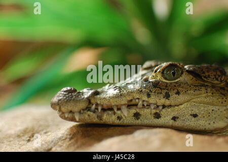 Baby Cuban Crocodile (Crocodylus Rhombifer) - Skansen's Aquarium, Stockholm, Sweden - Stock Photo