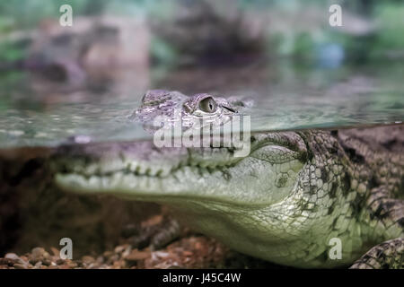 picture of a young crocodile staring out of the water - Stock Photo
