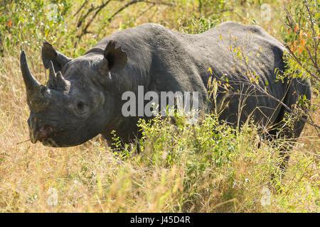 Black Rhino (Diceros bicornis), Maasai Mara, Kenya - Stock Photo