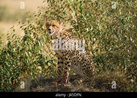 Cheetah (Acinonyx jubatus) Sitting on Mound, Maasai Mara, Kenya - Stock Photo