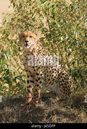 Cheetah (Acinonyx jubatus) Sitting on Mound, Maasai Mara, Kenya