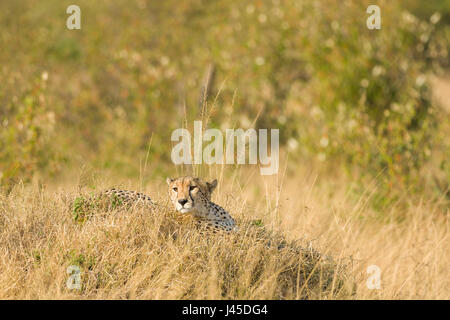 Cheetah (Acinonyx jubatus) Resting on Mound, Maasai Mara, Kenya - Stock Photo
