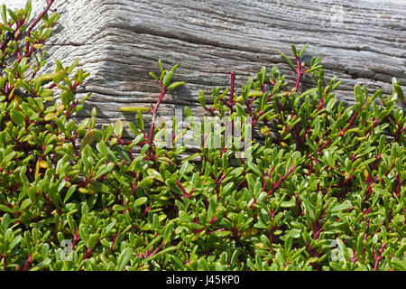Shoreline purslane (Sesuvium portulacastrum) growing up the side of a driftwood log on a Pacific island - Stock Photo