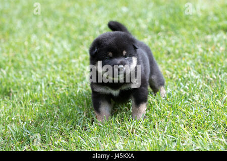Portrait of cute tan shiba inu puppy dog on green grass - Stock Photo