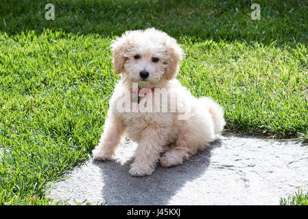 Little golden toy poodle puppy wearing a colourful red collar, sitting in the garden on a paving stone in a green - Stock Photo
