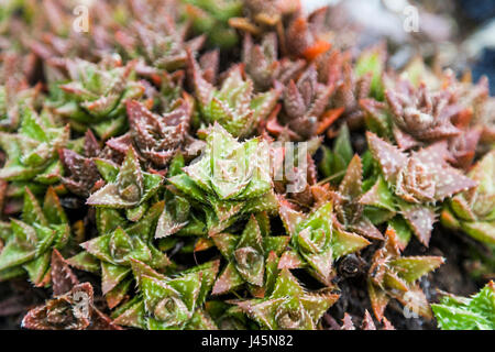 Close-up of colorful succulents. - Stock Photo