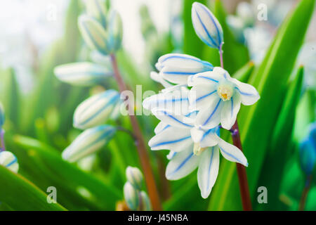 Striped Squill in the home garden. Botanical name Puschkinia scilloides. - Stock Photo