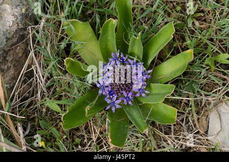 Peruvian Lily, Scilla peruviana in meadow in Andalusia, Spain - Stock Photo