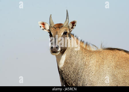 BLUE BULL OF INDIA  BLUE COW - Stock Photo
