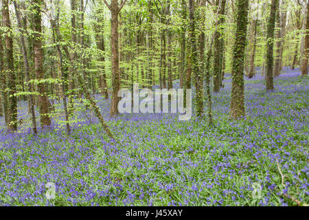 Warrenpoint, Couny Down, Northern Ireland 22 April 2017. Carpet of Bluebells in full bloom in a wood - Stock Photo