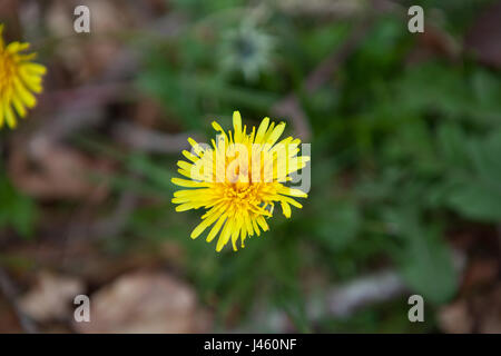 Warrenpoint, Couny Down, Northern Ireland 22 April 2017. Dandelion in full bloom - Stock Photo