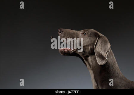 Close-up Portrait of Weimaraner dog catching food on white gradient - Stock Photo