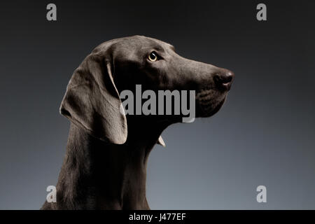 Close-up Portrait Weimaraner dog in Profile view on white gradient - Stock Photo