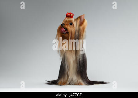 Groomed Yorkshire Terrier Dog Sits on White and Looking up  - Stock Photo
