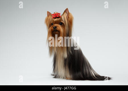 Groomed Yorkshire Terrier Dog Sits on White  - Stock Photo