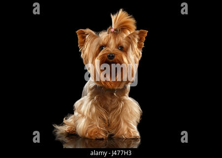 Closeup Yorkshire Terrier Dog Standing on Black Mirror  - Stock Photo