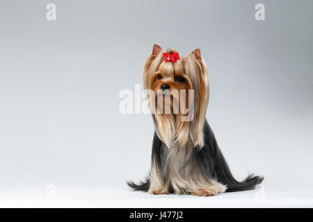 Yorkshire Terrier Dog with long groomed Hair Sits on white - Stock Photo