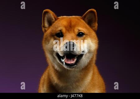 Portrait of head Shiba inu Dog, purple Background - Stock Photo