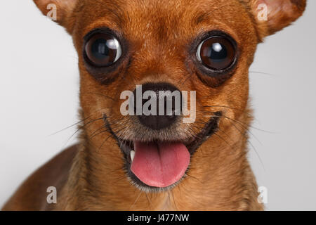 Closeup Smiling Brown Toy Terrier on White Background - Stock Photo