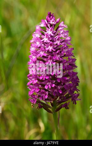 HOA GIEO TỨ TUYỆT - Page 64 Dark-pink-inflorescence-of-wild-pyramidal-orchid-anacamptis-pyramidalis-j479ye