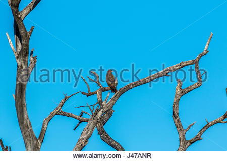A Wahlberg's Eagle photographed in a dead tree in the Okavango Delta, Botswana. - Stock Photo