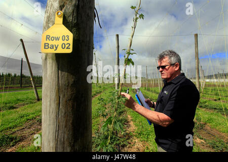 Picture by Tim Cuff - 26 October 2016 - Dr Ron Beatson with test hops at the Plant and Food facility, Motueka, Nelson, - Stock Photo