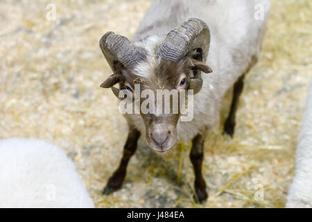 image adult sheep with horns looking at you - Stock Photo