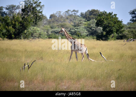 A lone giraffe steps through the savannah. Taken on 01.04.2017 in Mahango Park Game Serve. The giraffe (Giraffa - Stock Photo