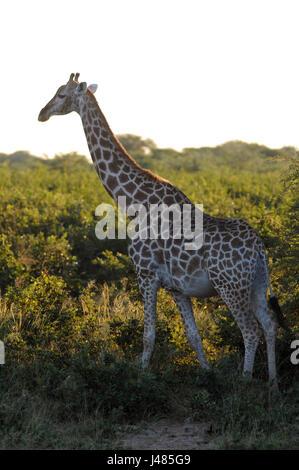 A lone giraffe steps through the savannah and bush. Taken on 01.04.2017 in Mahango Park Game Reserve. The giraffe - Stock Photo