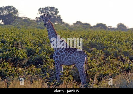With its long neck, a giraffe looms out of the Savannah vegetation. Taken on 01.04.2017 in Mahango Park Game Reserve. - Stock Photo