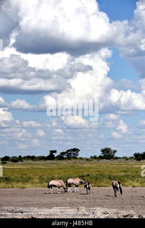 A group of oryx wander through the Botswanan savannah under rain clouds. Taken on 09.04.2017 in the Central Kalahari - Stock Photo