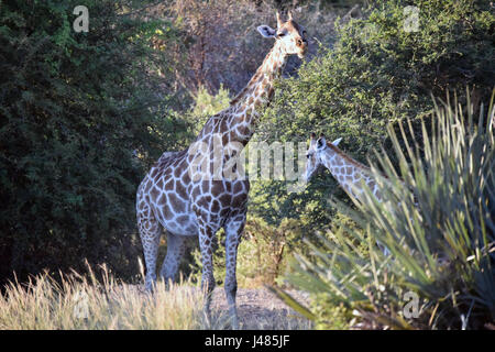 A giraffe cow grazes on an acacia tree together with her calf. Taken on 01.04.2017 in Mahango Park Game Reserve. - Stock Photo