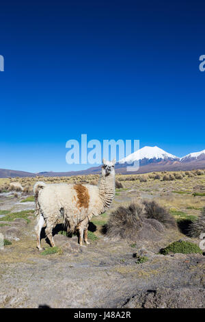 The Andean landscape with herd of llamas, with the Parinacota volcano on background. - Stock Photo