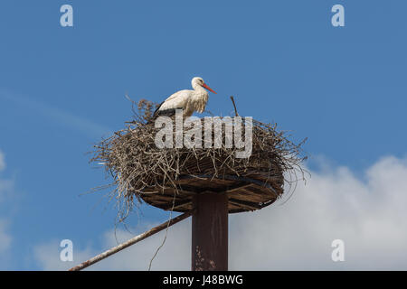 A White Stork (Ciconia Ciconia) sitting in his nest - Stock Photo