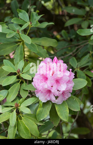 Rhododendron 'Pink pearl' flowering in spring. UK - Stock Photo