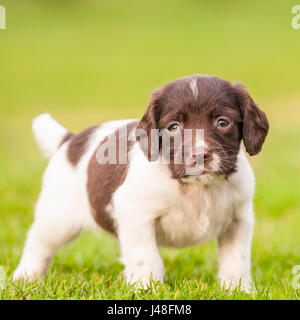 An English Springer Spaniel puppy at 6 weeks old exploring the garden - Stock Photo