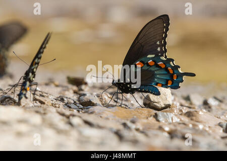 Beautiful green swallowtail butterfly - Stock Photo