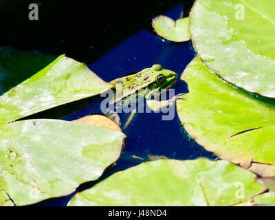 Green European edible frog with claw resting on a lily pad. Paris, France - Stock Photo